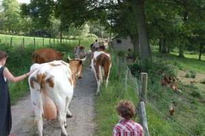 Biodynamic cows at Plaw Hatch Farm